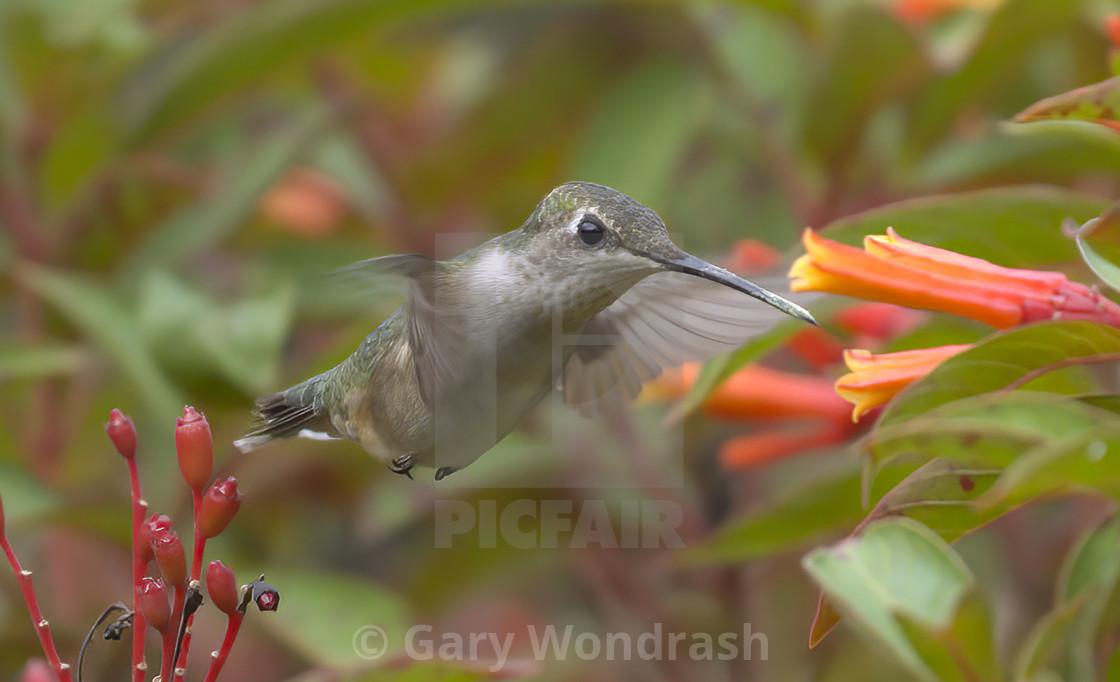 """Ruby-throated Hummingbird"" stock image"