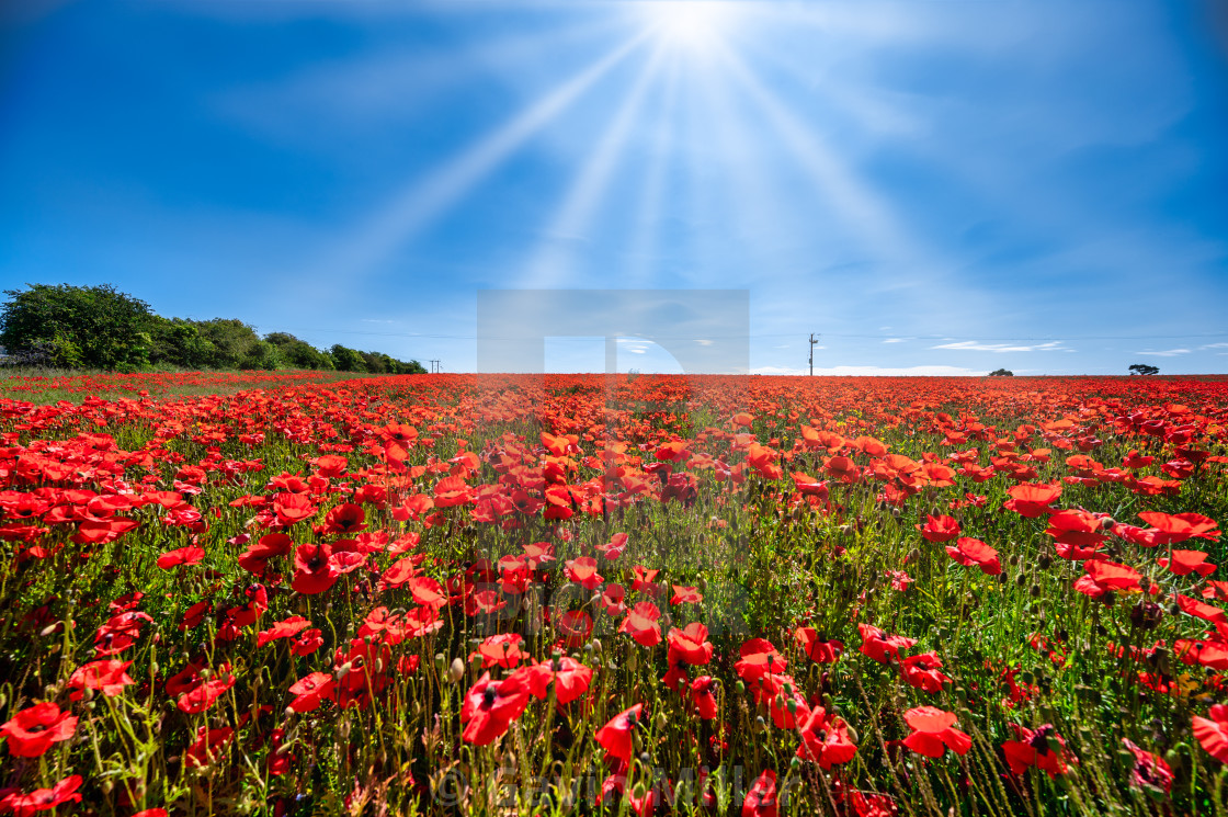 """Poppy field, near Edinburgh, Scotland."" stock image"