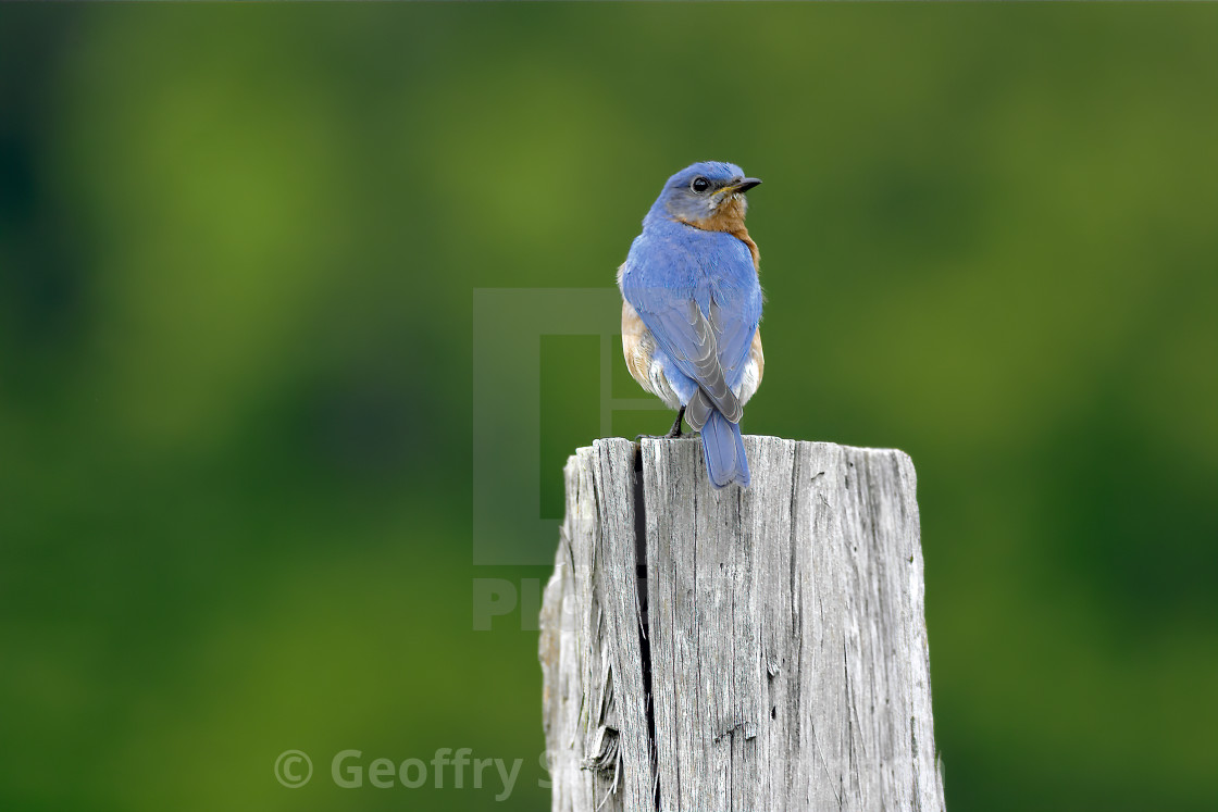 """Bluebird on Post"" stock image"