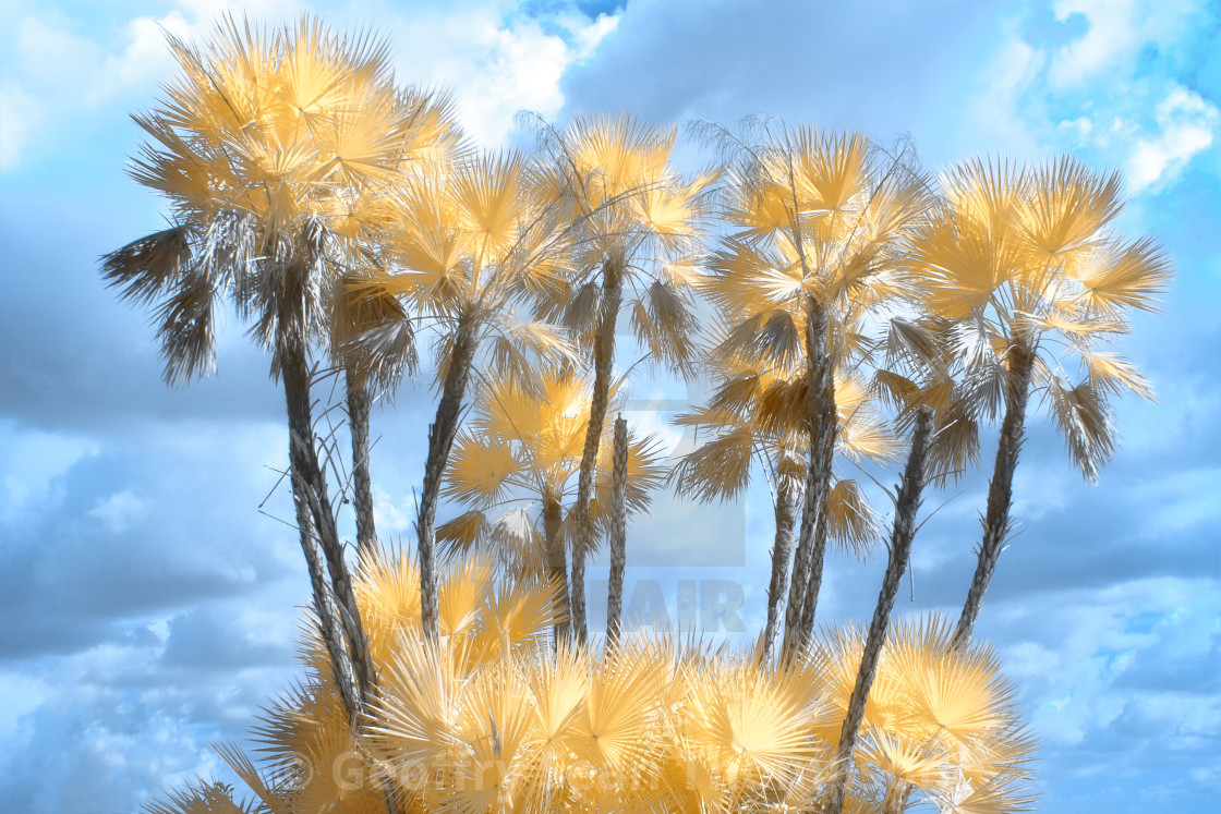 """Golden Palms"" stock image"