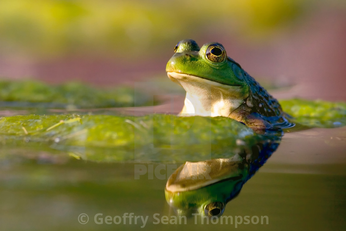 """Reflecting Frog"" stock image"