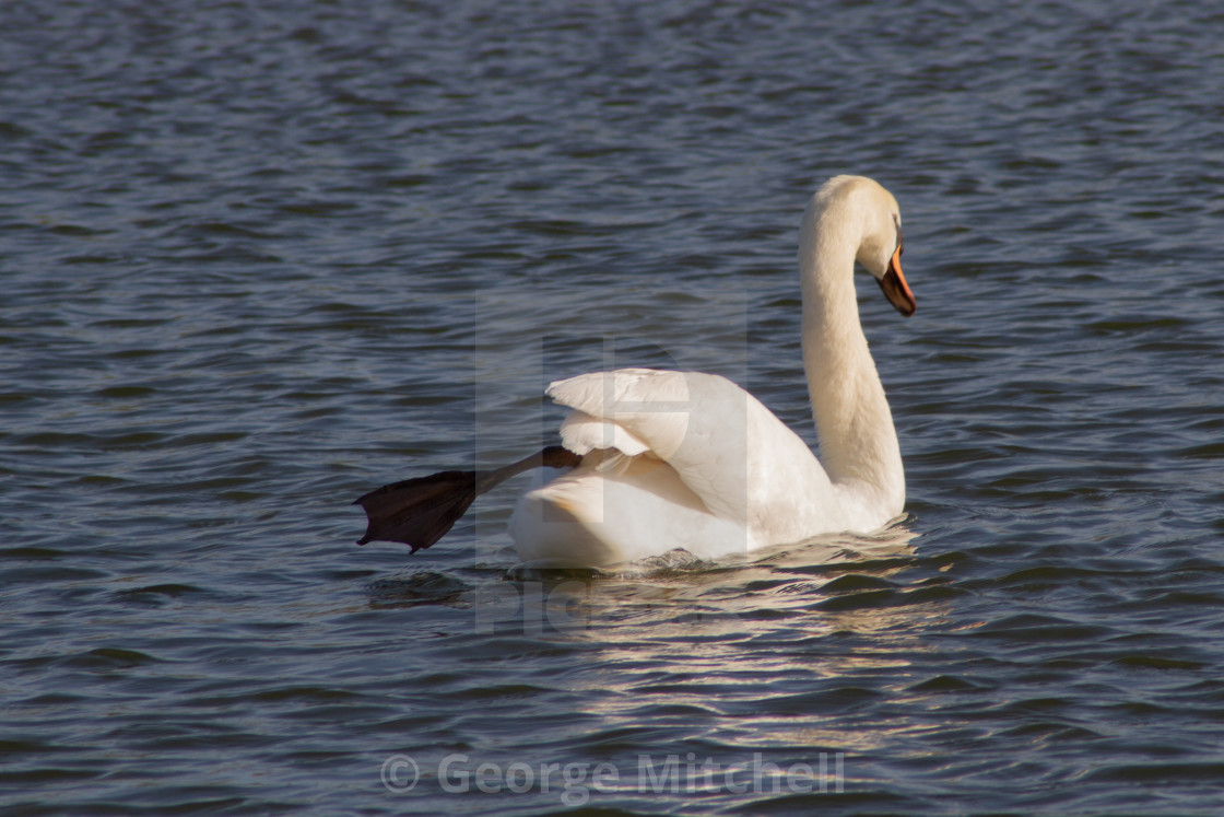 """White swan swimming at Marina"" stock image"