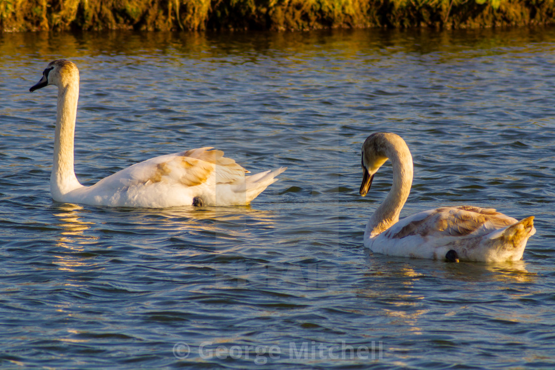 """Two young swans swimming in a marina"" stock image"