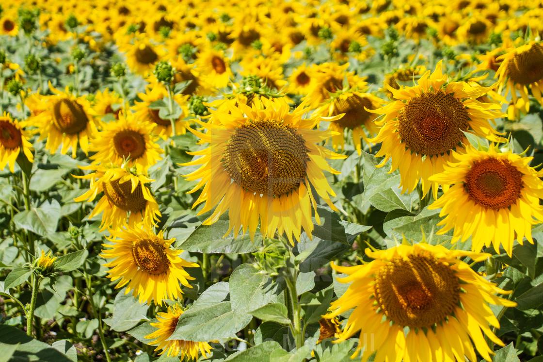 """Summer Sunflowers"" stock image"