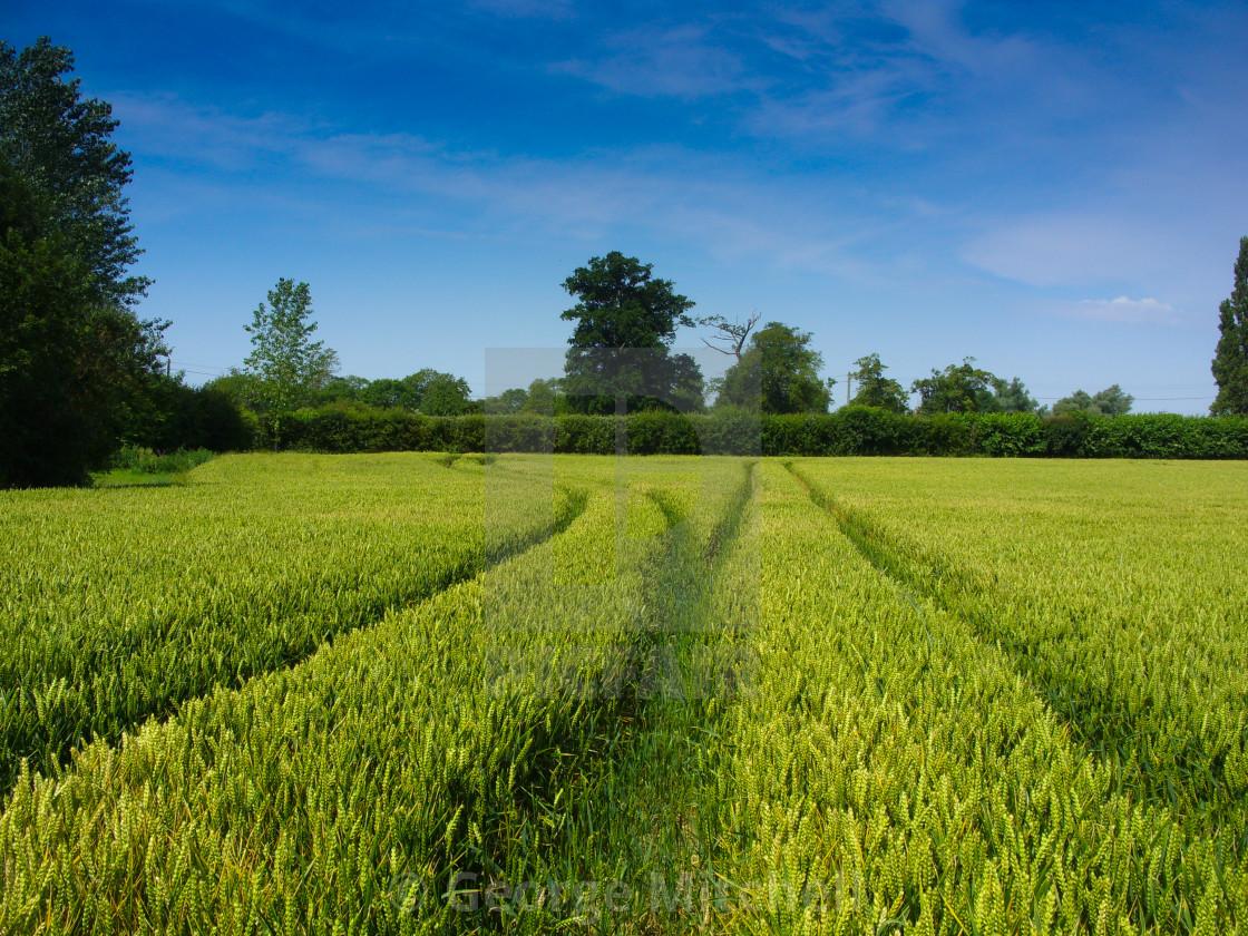 """""""Corn growing in sun"""" stock image"""