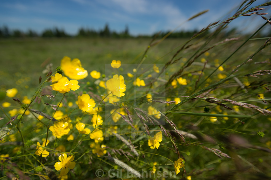 """Sunny Summer Buttercups"" stock image"