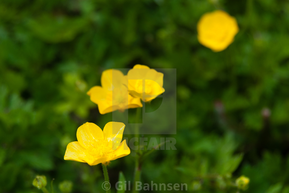 """Yellow Buttercups Green Field"" stock image"