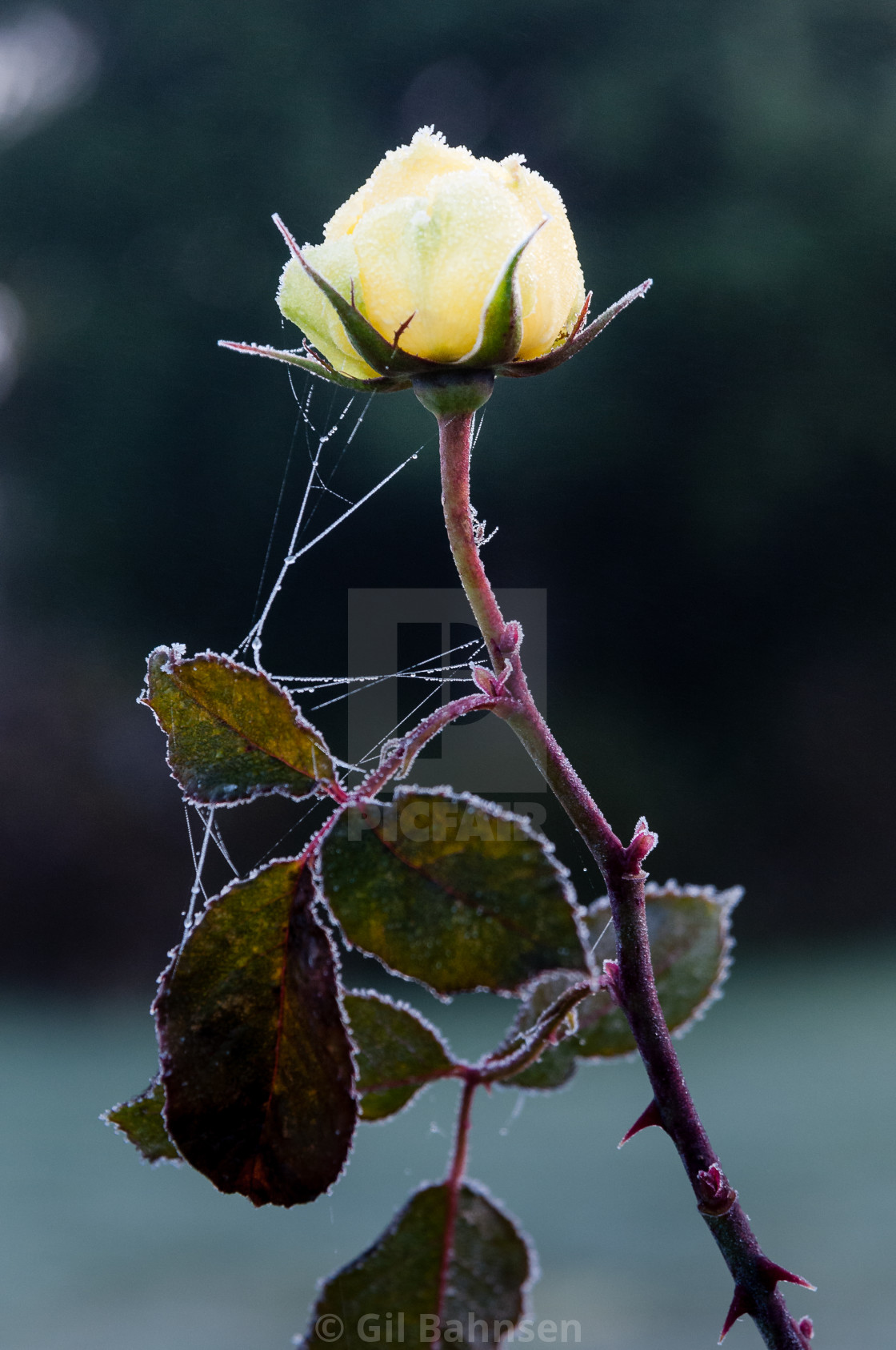 """Frosted Yellow Rose"" stock image"