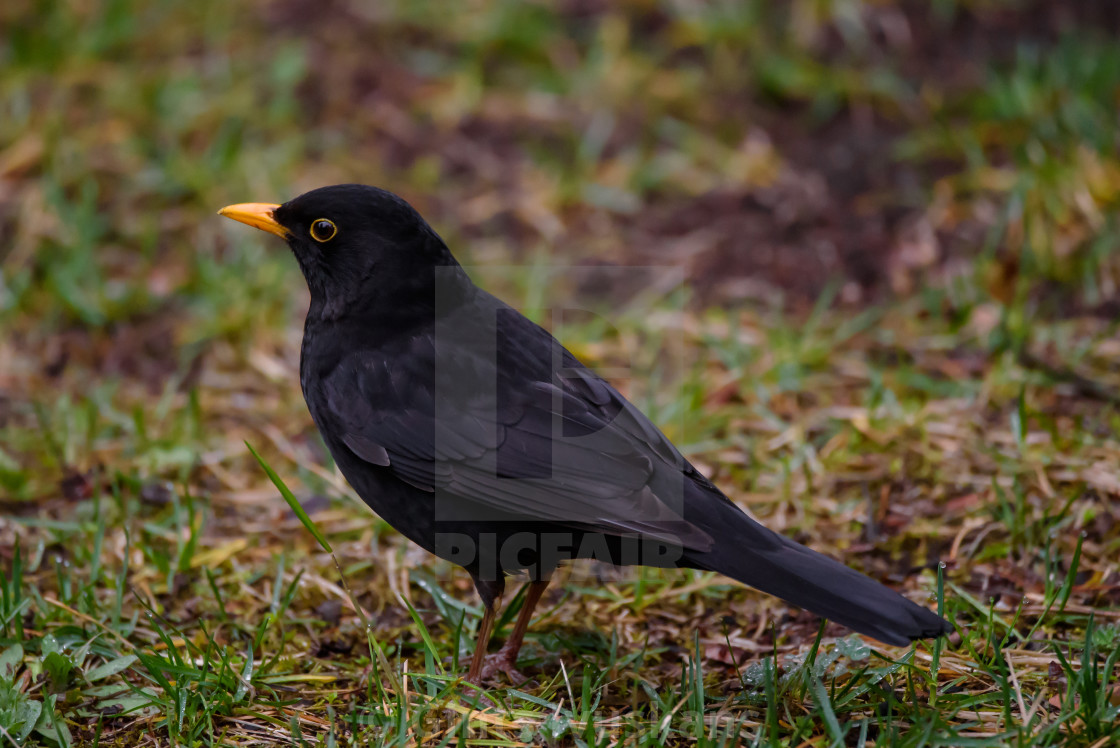 """Common blackbird male, turdus merula. Spring season."" stock image"