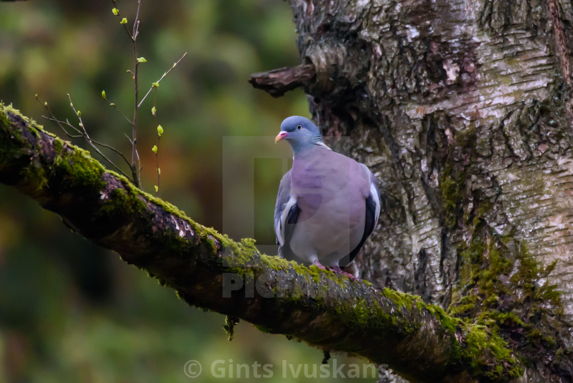 """Wood pigeon."" stock image"