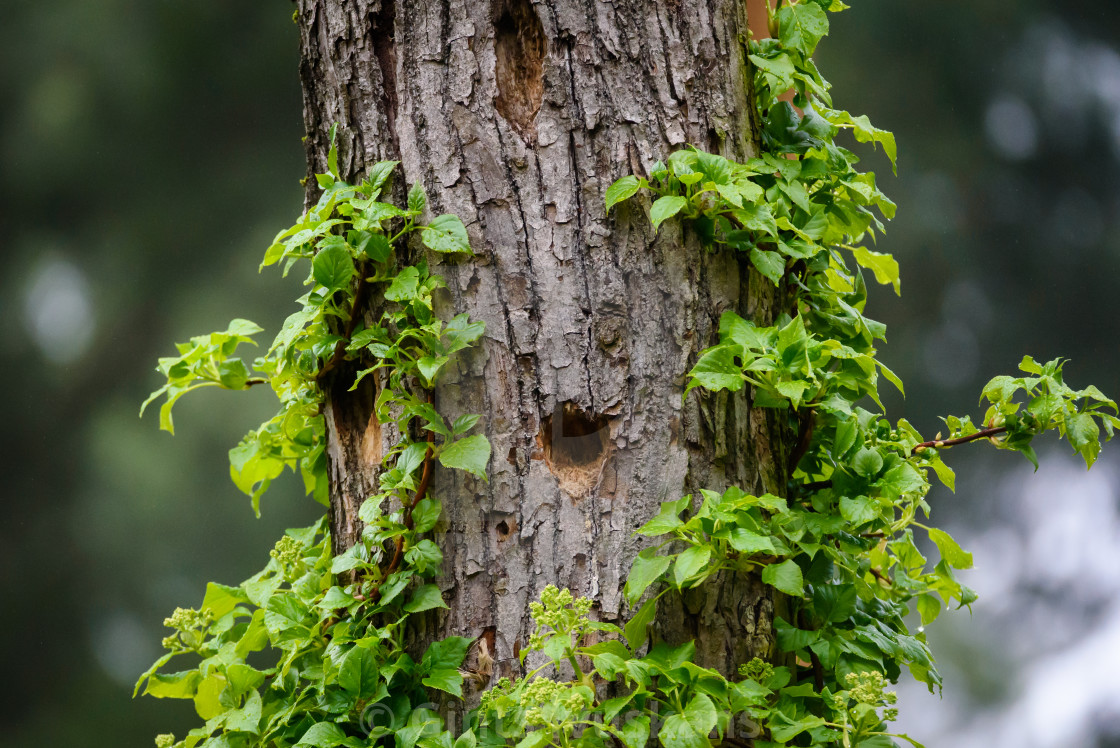 """Wooden cavity for woodpecker bird on tree trunk."" stock image"
