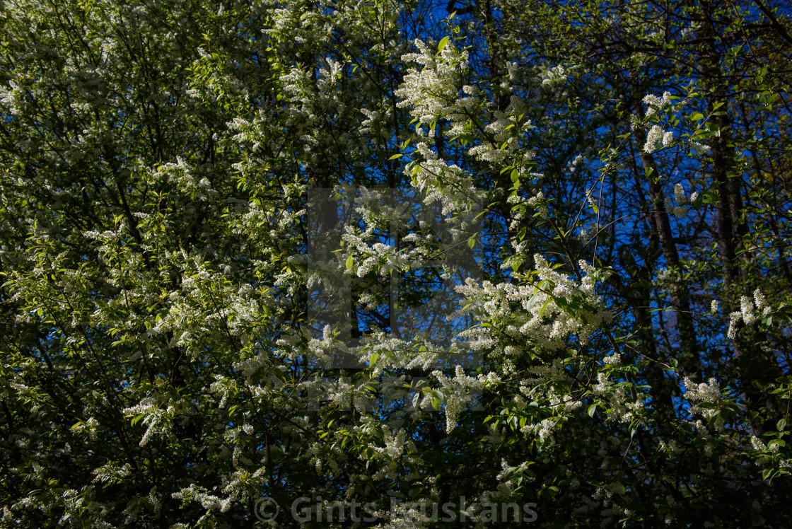 """""""Bird cherry, Prunus padus blossoms on tree."""" stock image"""
