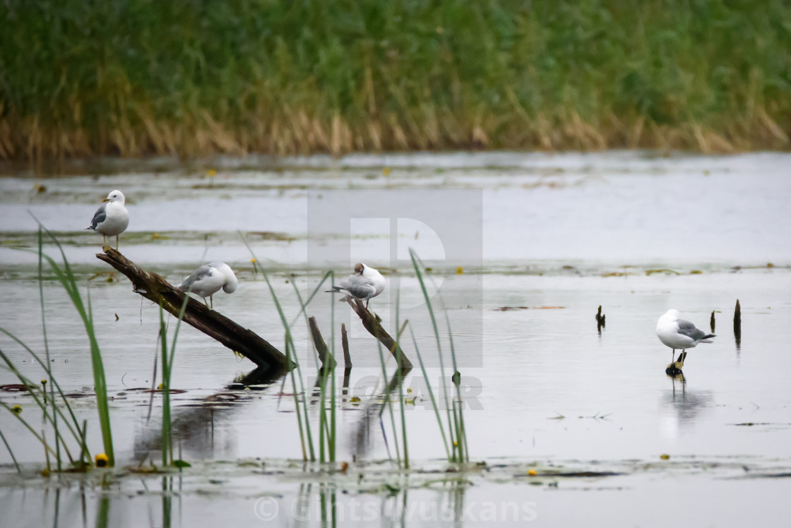 """Selective focus photo. Common gull birds, Larus canus at Lubana lake, Latvia."" stock image"