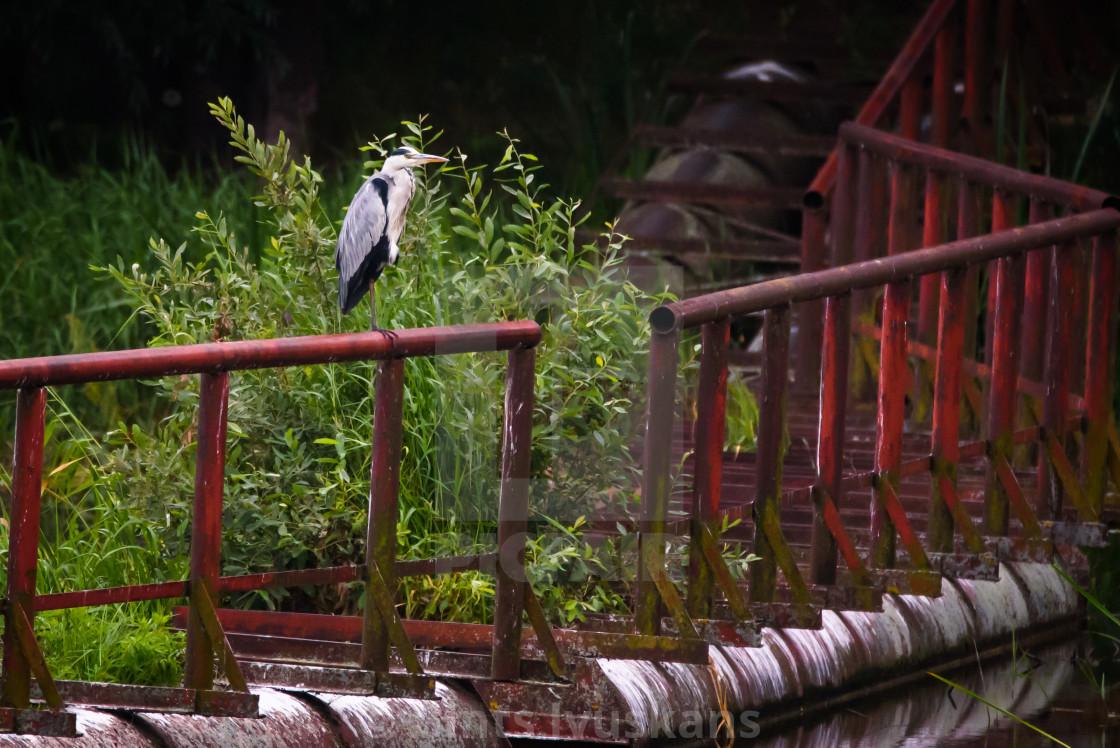 """Grey heron bird, Ardea cinerea at Lubana lake, Latvia."" stock image"