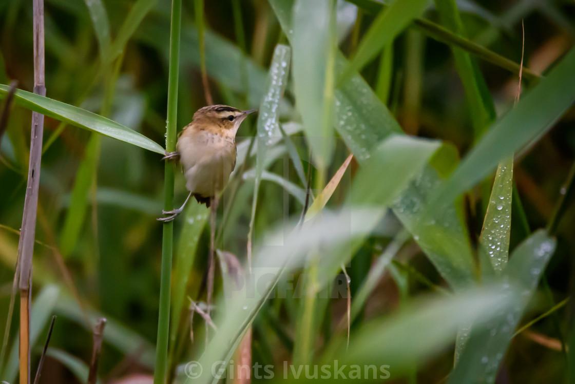 """Sedge warbler bird, Acrocephalus schoenobaenus at Lubana lake, Latvia."" stock image"