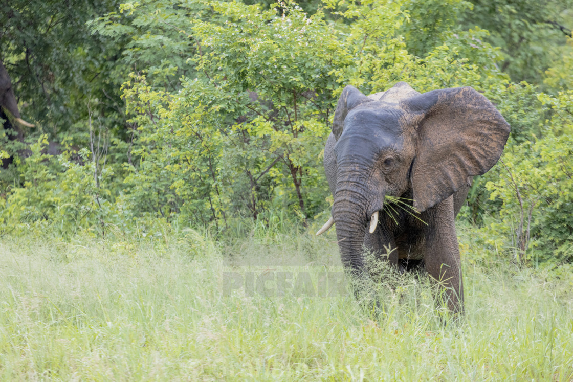 """""""A young elephant grazing"""" stock image"""