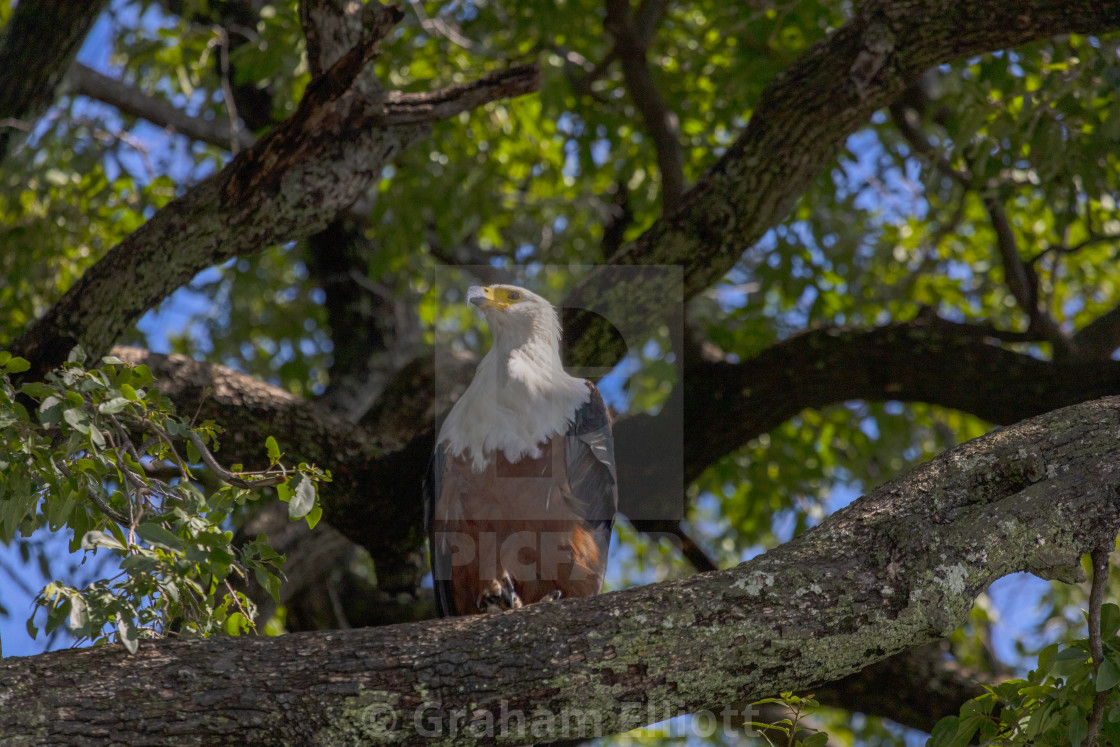 """""""An African Fish Eagle"""" stock image"""