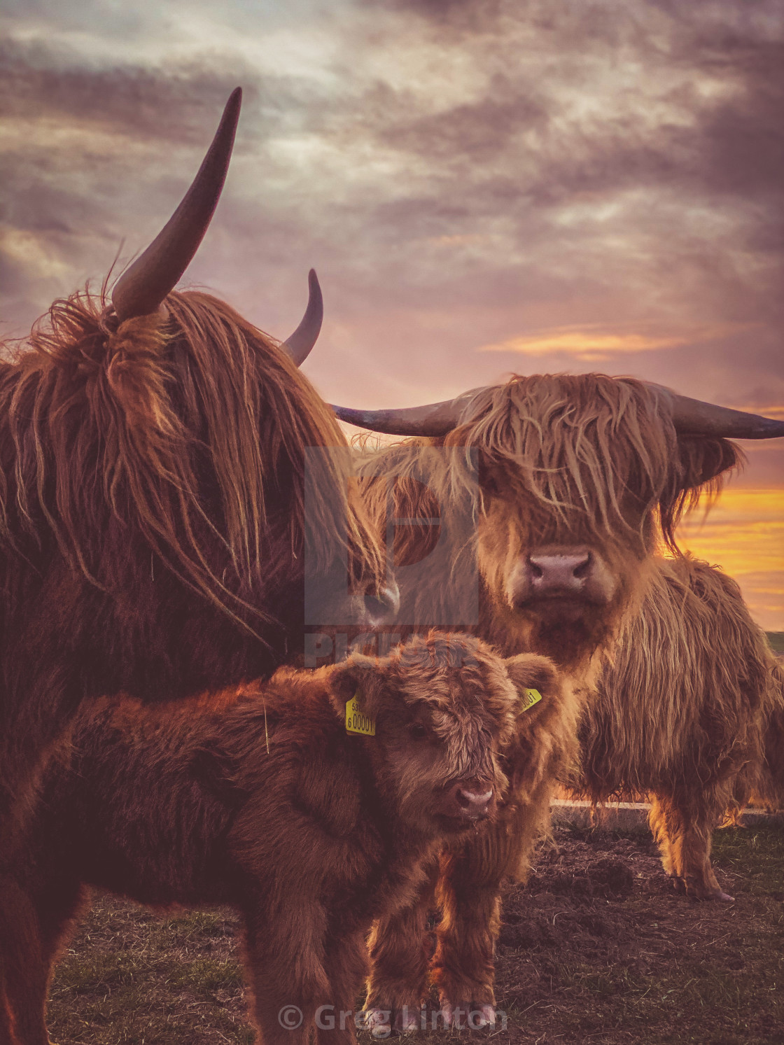 """HIGHLAND CATTLE AND SUNSET"" stock image"