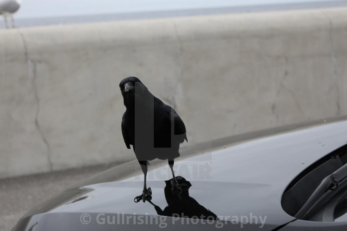 """""""Curious Crow"""" stock image"""