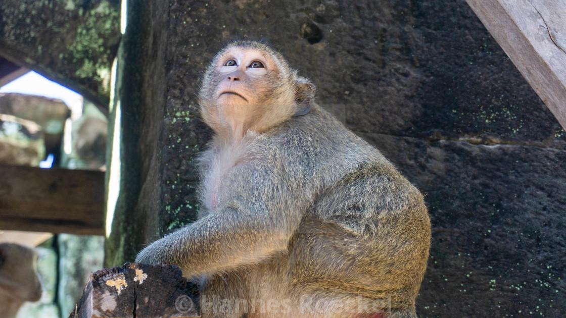 """Tempel Monkey"" stock image"