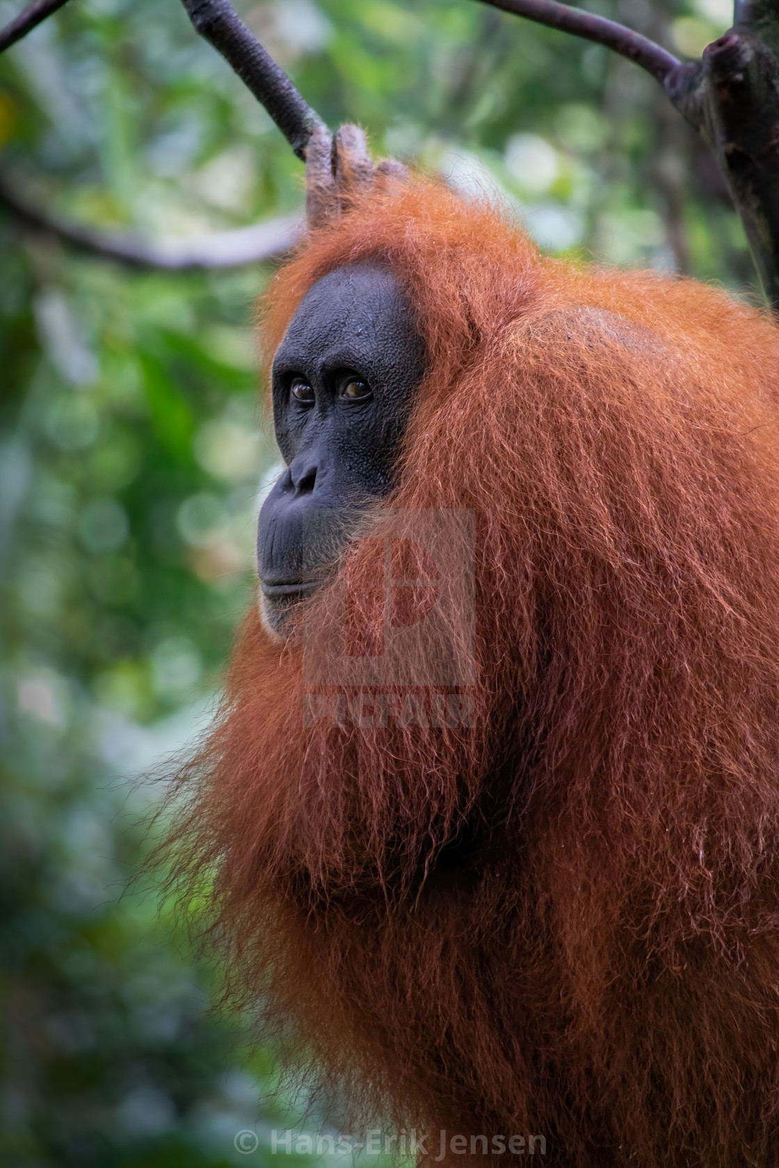 """""""Orangutang"""" stock image"""