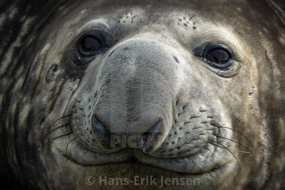 """Elephant Seal"" stock image"