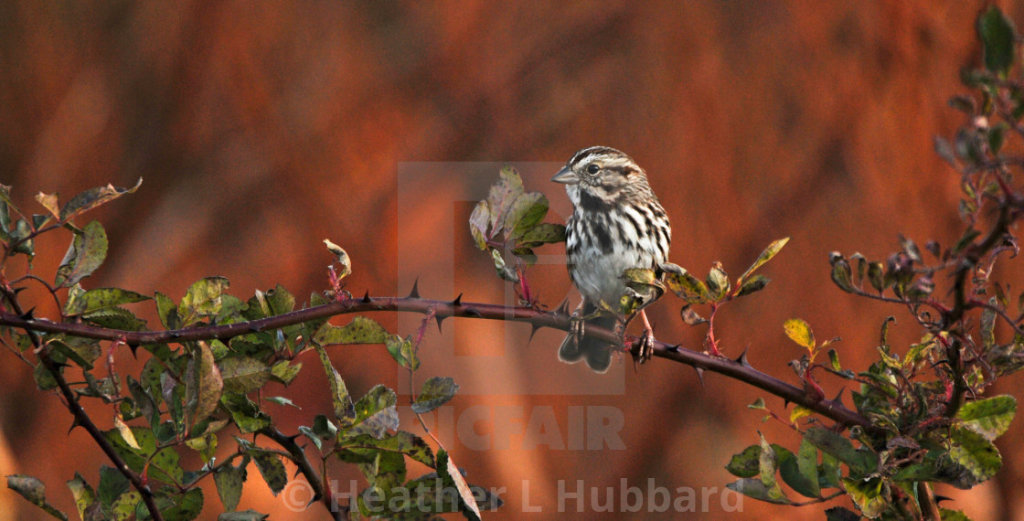 """""""Song Sparrow"""" stock image"""