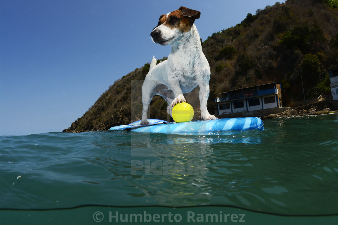 """Jack Russel dog."" stock image"