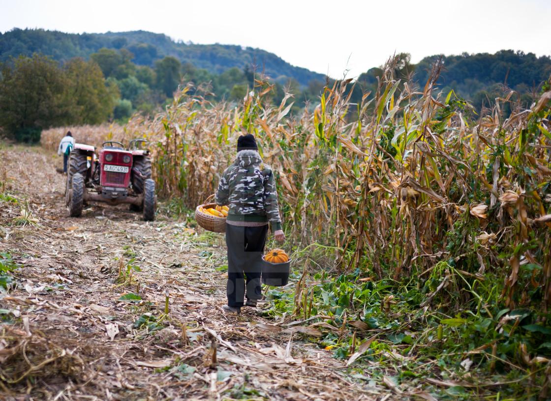 """Old man harvesting corn"" stock image"