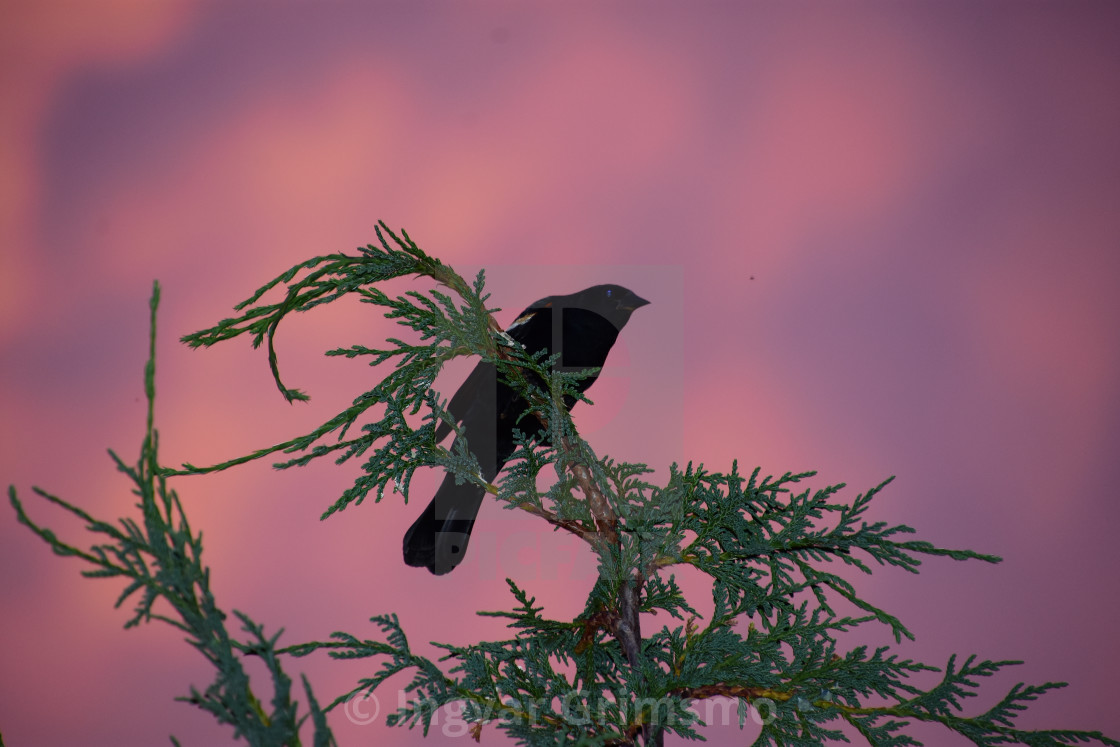 """Red-winged blackbird at sunset"" stock image"