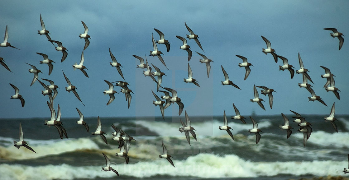 """Terns flying in formation"" stock image"