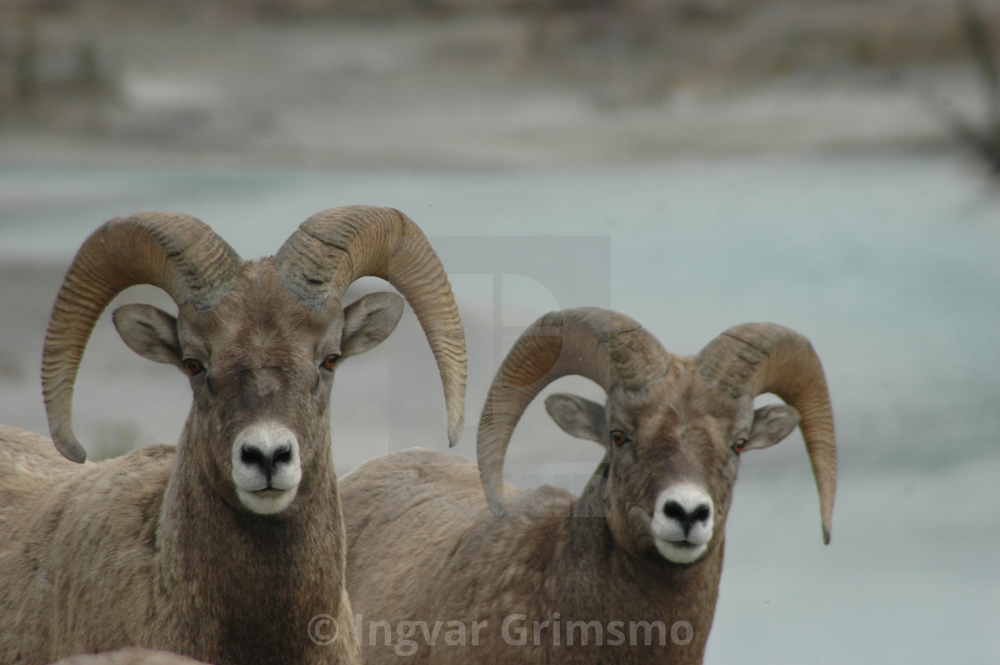 """Bighorn Sheep in the Canadian Rockies."" stock image"