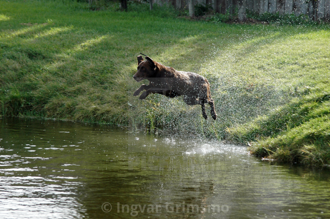 """""""Chesapeake Bay Retriever jumping into the water"""" stock image"""