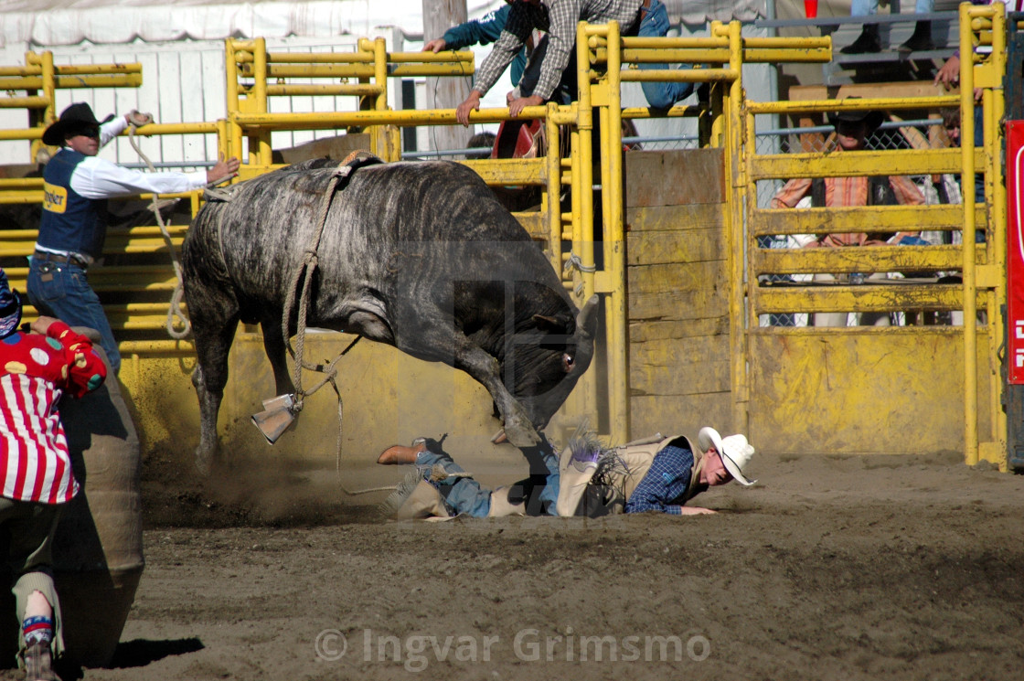 """""""Rodeo bull rider in trouble"""" stock image"""