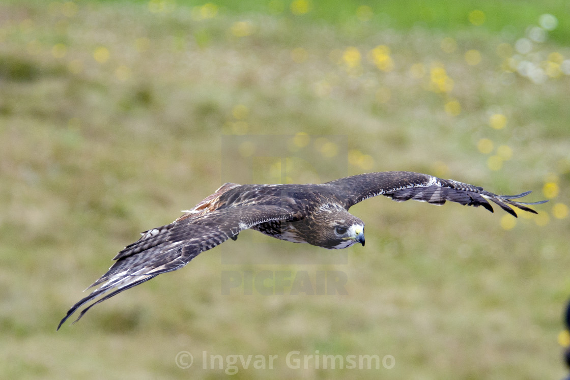 """""""Red Tailed Hawk in flight"""" stock image"""