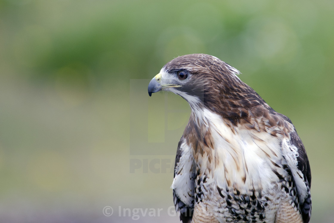 """""""Close up of a red-tailed hawk"""" stock image"""