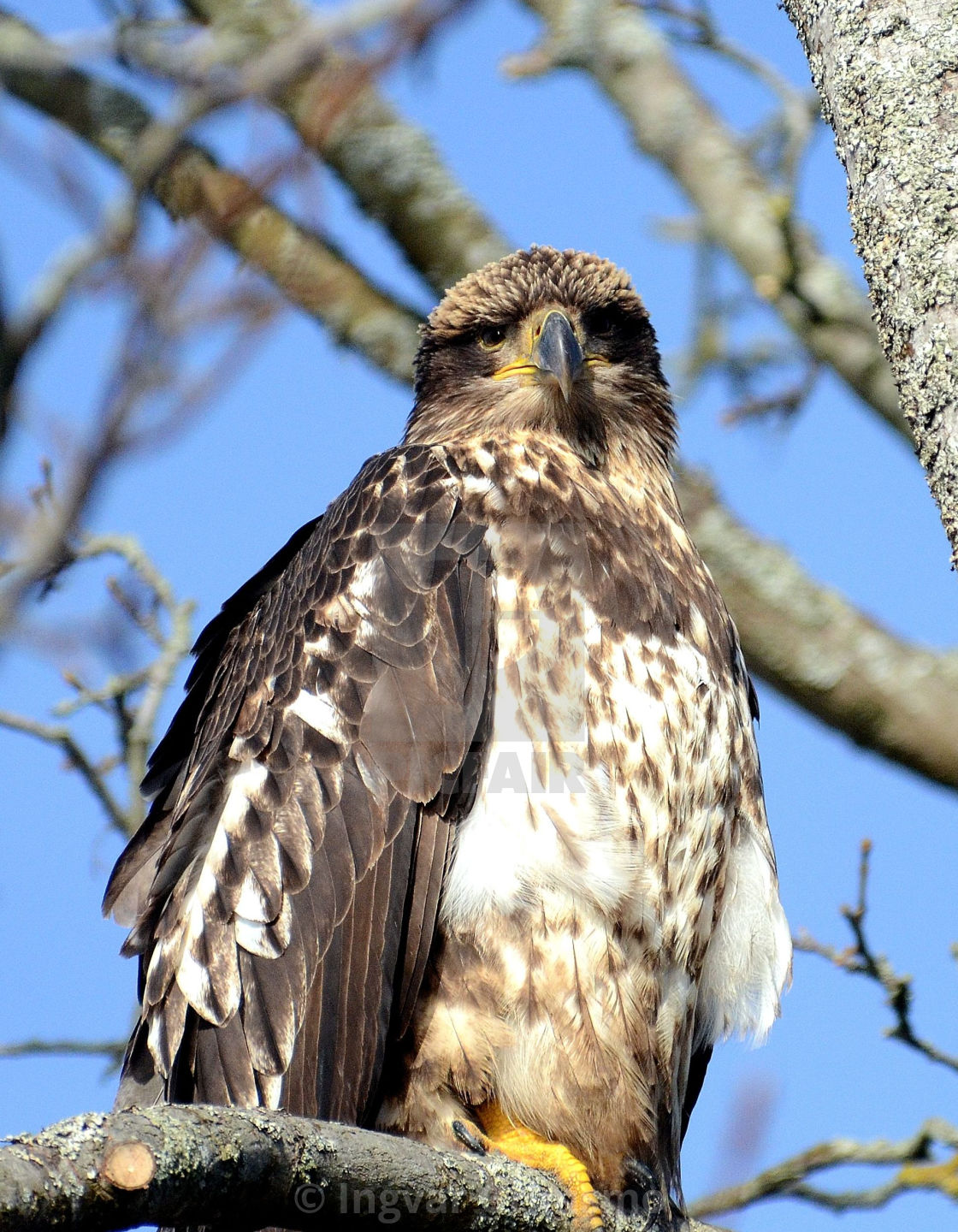"""""""Golden Eagle looking at you"""" stock image"""