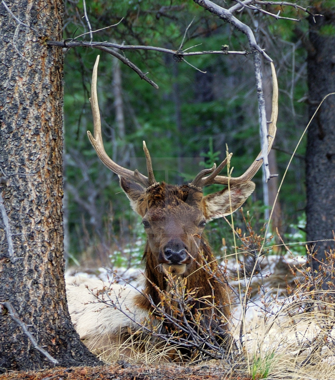 """""""Male Elk with huge antlers looking at you."""" stock image"""