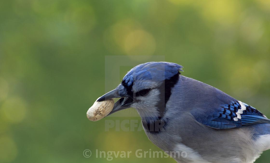 """BlueJay with peanut"" stock image"
