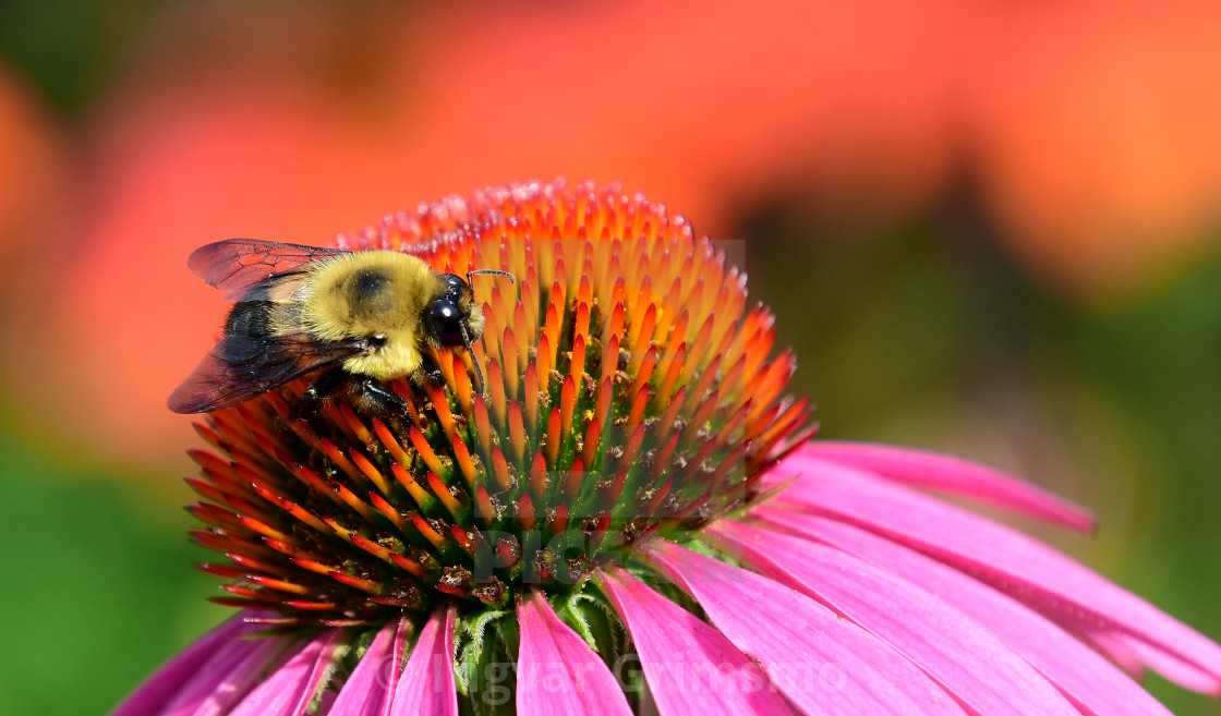 """Bumblebee feeding on a flower"" stock image"