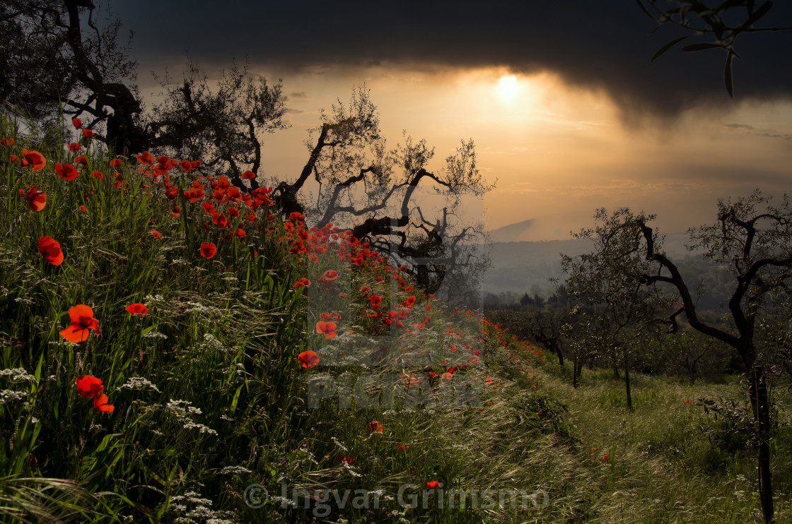 """Red poppies and olive trees at sunset"" stock image"