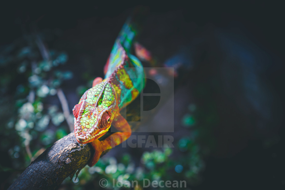 """Chameleon the Master of Camouflage"" stock image"