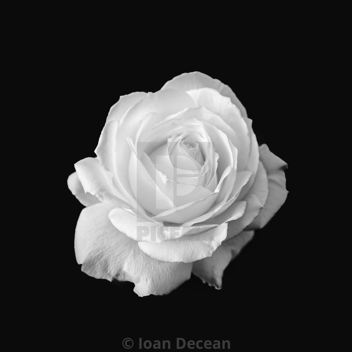 """Pure White Rose Flower Black and White"" stock image"
