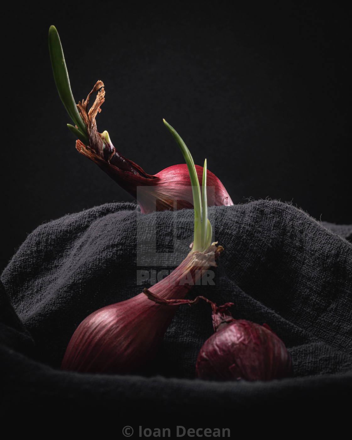"""Sprouting Red Onions on Dark Background Still Life"" stock image"