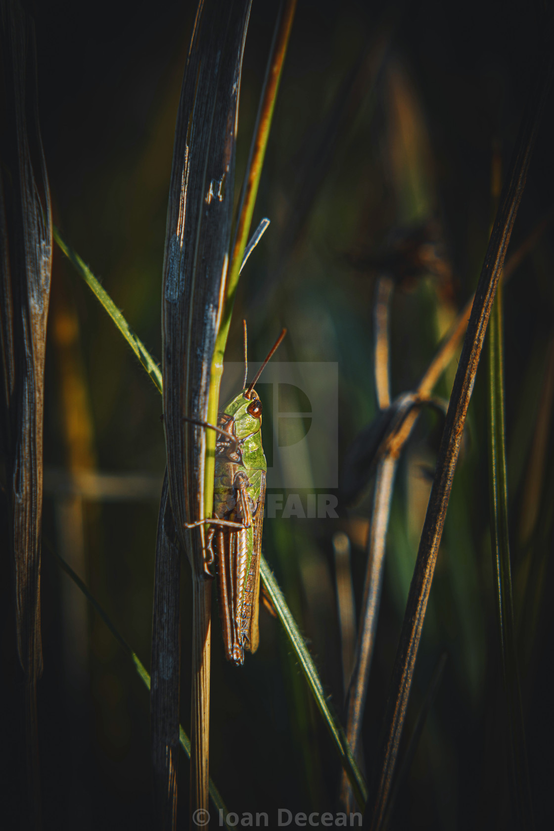 """""""Grasshopper on Grass Side View"""" stock image"""