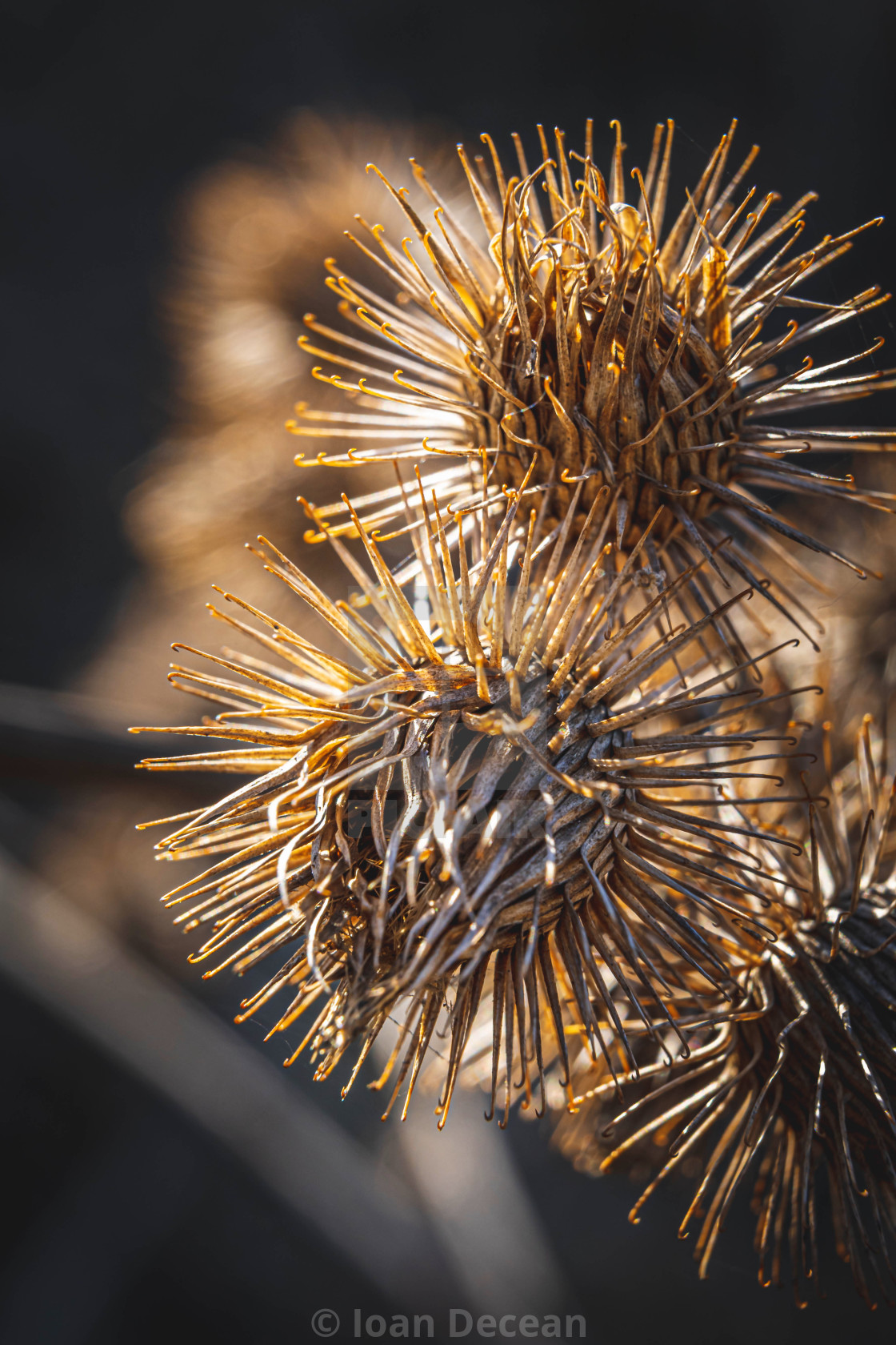 """""""Detail of Dry Thistle Plant"""" stock image"""