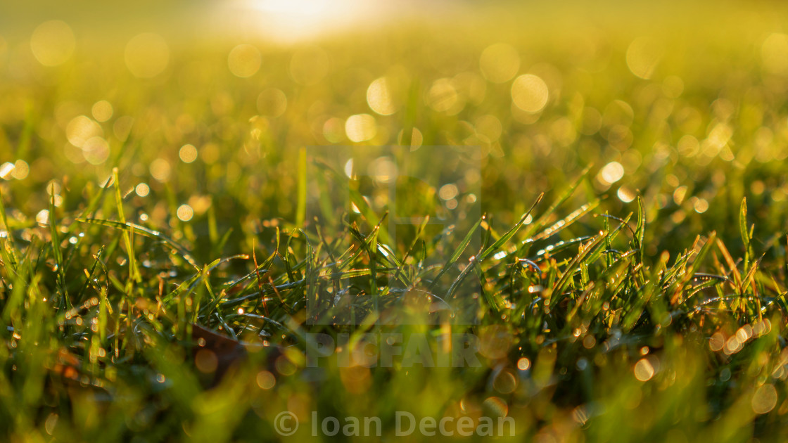 """""""Green Grass Background in the Morning Sunrise"""" stock image"""