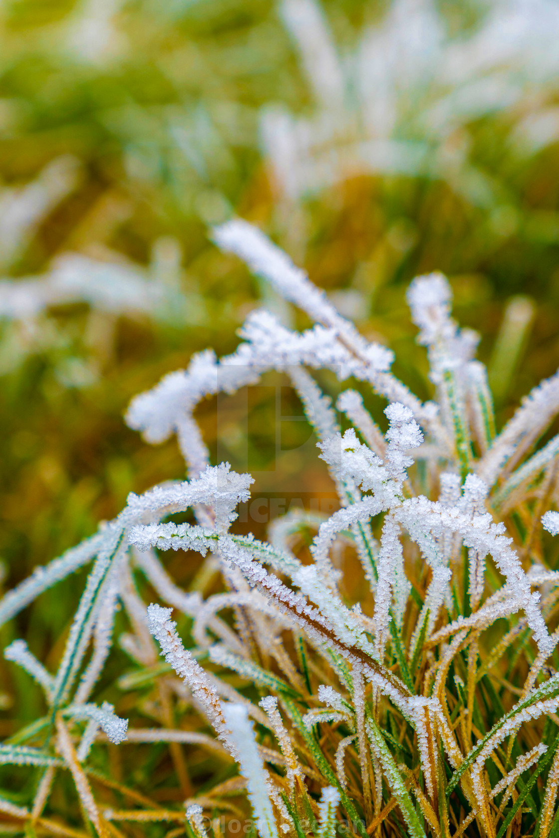 """Frozen Grass Between Winter and Spring"" stock image"