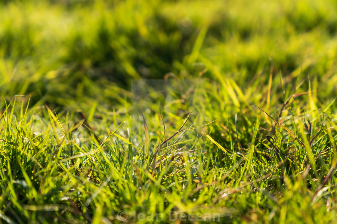 """Green Grass Background in the Morning"" stock image"