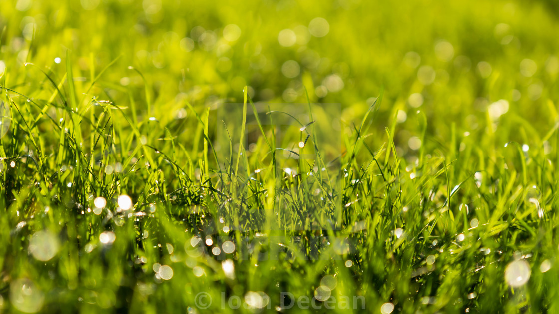 """""""Green Grass Bokeh Background with Water Drops in the Morning"""" stock image"""